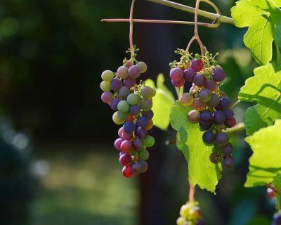 ワイン,作り方,発酵,赤,白,ロゼ