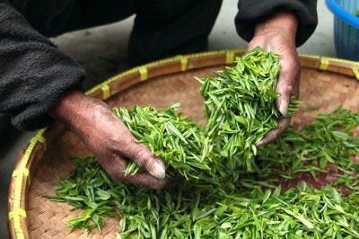 不発酵茶、緑茶