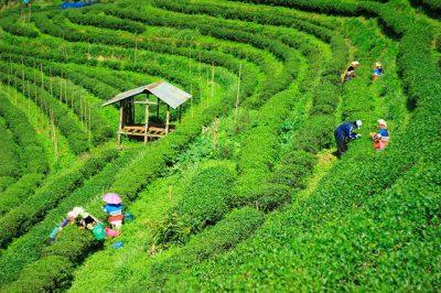お茶の原料、茶畑
